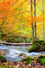 Autumn In Wild Forest - Big Forest Trees And Fast River With Stones With Real Honey Agarics Mushrooms On Foreground