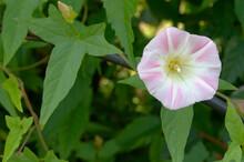 薄いピンクと星形の白い模様の花ひるがお