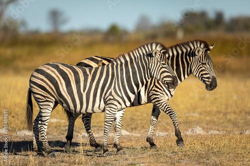 Naklejka premium Two zebra walking in dry bush in warm afternoon sunshine in Moremi in Okavango Delta in Botswana