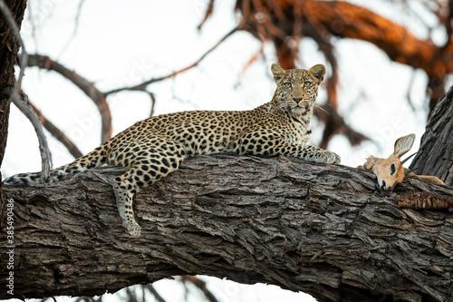 Cuadros en Lienzo Leopard lying on a large tree branch looking alert with its prey in Botswana