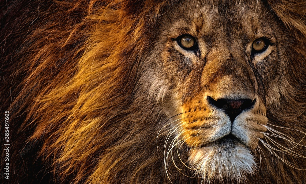 Fototapeta A wildness of lion and beauty of nature is shown here. A good leader's vision is same to lion's vision.