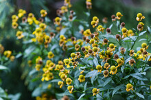 Yellow Asters Blooming In The ...