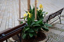 Between The Benches Under The Trees Are Planted Tall Tuberous Flowers With Red And Yellow Flowers Similar To A Banana Tree. Gray Paving Wood Paneled Benches. Gray Granite Cobblestone Pavement