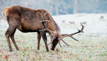 Red Deer Stag, On A Frosty Morning