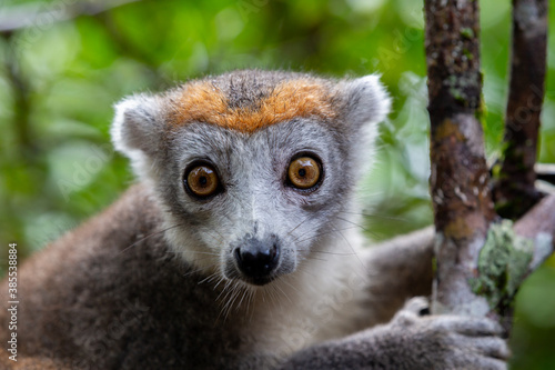 Fototapeta premium A crown lemur on a tree in the rainforest of Madagascar