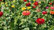 canvas print picture - Generous and colorful flowering of elegant zinnia flowers (Zinnia elegans or violacea)
