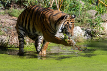 Tiger Standing In The Water With Common Duckweed And Trying To Clean His Paw