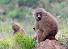 Guinea Baboon Sitting Looking At Camera