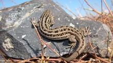 Lizard A Lizard On The Rock, R...