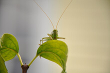 Green Grasshopper On Branch Close Up