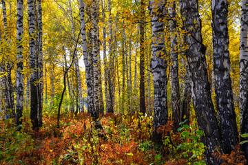 Fototapeta Brzoza Picturesque autumn landscape in golden autumn birch grove