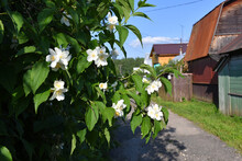 Jasmine Bush With Green Leaves And White Flowers On A Blurry Background Of A Suburban Street