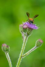 Honey Bee Feeding On Hemisteptia Flower In Garden