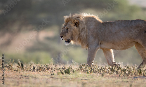 Photo Wild free ranging male african lion patrolling its territory