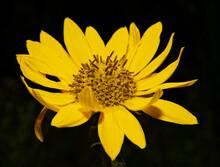 Ashy Sunflower, A Native Oklahoma Wildflower Against Dark Background In Summer Sun