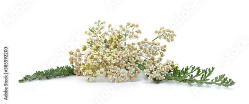 Photographie Fresh and dried yarrow flowers.