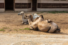 Two Camels Lie On The Sand In ...