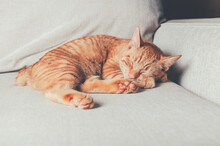 Cute Little Ginger Cat Sleeps ...