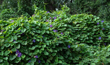 Tropical Vines With Purple Flowers