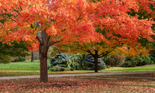 Maple Trees Changing To A Beau...