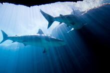 Shark Underwater Swimming Above The Camera.