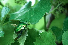 Green Bronze On Grape Leaves, ...