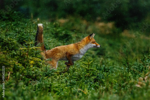 Fototapeta premium Jump. Red fox, Vulpes vulpes, jumping in green forest habitat. Orange fur coat animal with fluffy tail in snowfall. Action scene from nature. Wildlife scene from Europe. Fox is clever beast.