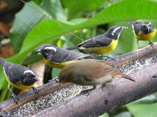 Le Sucrier, Oiseau Des Antilles
