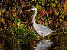 Great Blue Heron Standing In P...