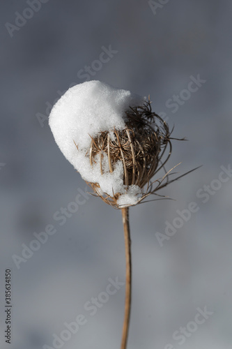 Dry plant covered with snow in winter Fototapet
