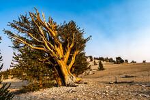 Bristlecone Pine Leans In Stark Landscape