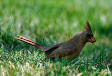 Female Northern Cardinal Bird Profile View As She Sits On The Ground In Grass And Eats A Sunflower Seed With Vibrant Orange, Red And Brown Feathers And Beautiful Striping On Wing Feathers