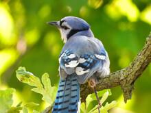 Brilliant Bluejay Bird Perched...