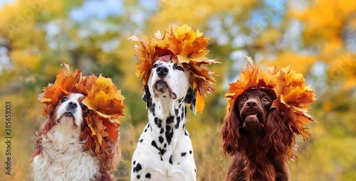 Obraz Head portrait of three dogs wearing autumn leafs crowns wide picture - fototapety do salonu