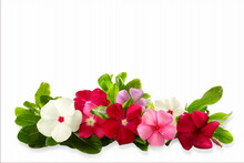 Catharanthus Roseus Flower Kno...