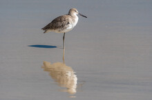 Willet On One Leg With Reflect...