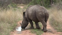 A South African Rhino Drinking Rainwater From A Small Puddle On A Dirt Road.