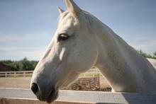 Purebred White Horse Outdoor. ...