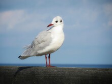 Seagull On A Railing Looking B...