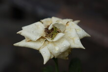 White Rose With Water Drop