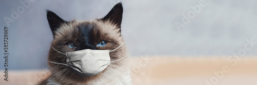 Portrait of siamese cat with blue eyes, wearing medical face mask against coronavirus and covid-19. Blurred background with copy space.