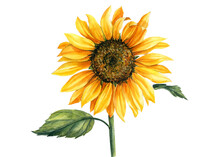 Yellow Sunflower On Isolated White Background, Watercolor Botanical Illustration, Hand Drawing, Summer Flower