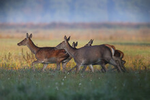 A Roe Deer Family Walks Throug...