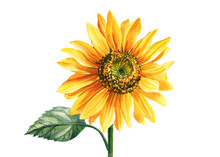 Sunflower, Watercolor Botanical Illustration, Hand Drawing, Perfect For Wedding, Invitation, Postcard