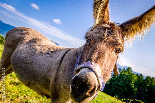 nice donkey at the european alps Canvas Print