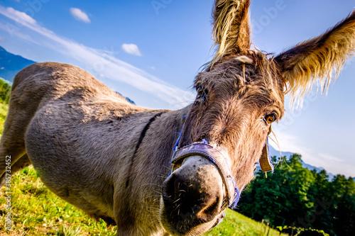 Fotografia nice donkey at the european alps