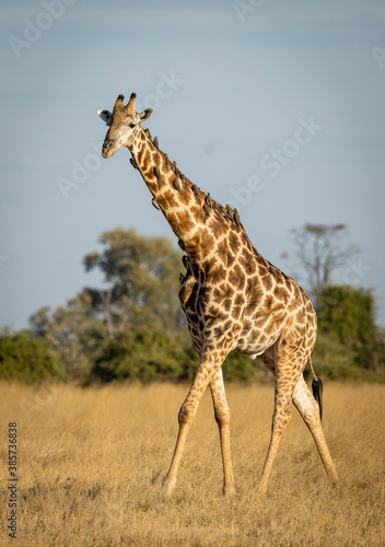 Fototapety, obrazy: Vertical portrait of a male giraffe walking in dry grass with ox peckers on its neck in Savuti in Botswana