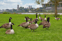 A Group Of  Canada Geese (bran...