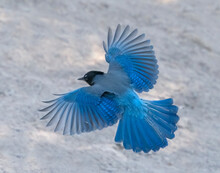 Stellar Spread - A Steller's Jay Spreads Wings And Tail Feathers Wide Open As It Approaches To Land. Sapphire Point, Dillon, Colorado.