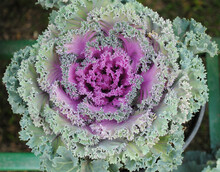Kale Flower Fully Blooms Looks Mesmerizing At Saramsa In Gangtok, Sikkim. Kale Is Also Called Leaf Cabbage & It Is Popularly Known For Its Beauty Is The Flowering Kale & There Are Varieties Of It.